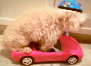 Video: This Is a Dog Driving a Corvette (Sort Of)
